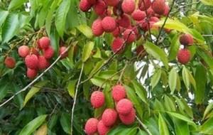 manfaat-buah-leci