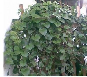 manfaat daun binahong