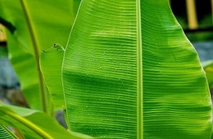 Banana Leaf Benefits For Skin, Health, and Packaging