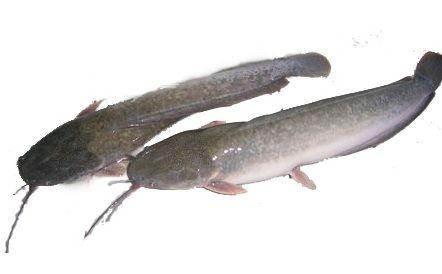 6 Manfaat Ikan Lele Untuk Kesehatan