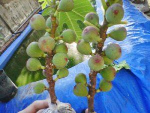 tanaman-buah-tin
