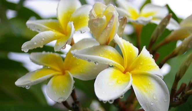 16 Manfaat Bunga Kamboja serta Bagian Lainnya