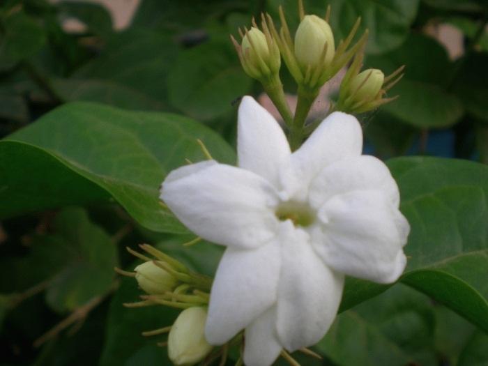 18 Manfaat Bunga Melati Untuk Kesehatan dan Kecantikan