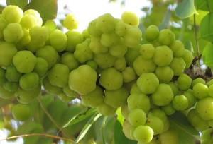 buah cermai