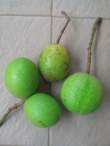 Manfaat buah bintaro