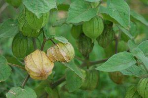 manfaat daun ciplukan