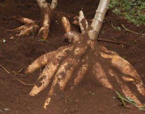 Manfaat Ketela Pohon