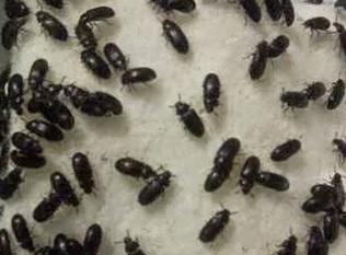 18 Manfaat Semut Jepang bagi Kesehatan + Cara Penggunaan