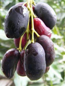 buah duwet
