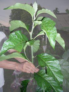 manfaat daun afrika