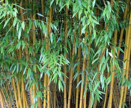 daun bambu kuning
