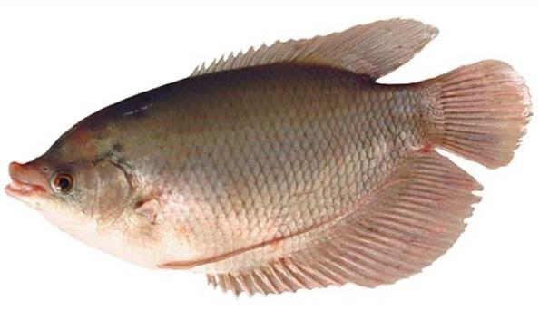 10 Manfaat Ikan Gurame Bagi Kesehatan
