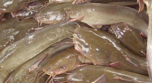10 Manfaat Ikan Sembilang Laut Bagi Kesehatan