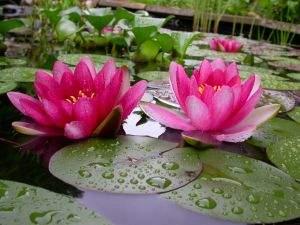 9 Manfaat Bunga Teratai untuk Kesehatan dan Obat Herbal