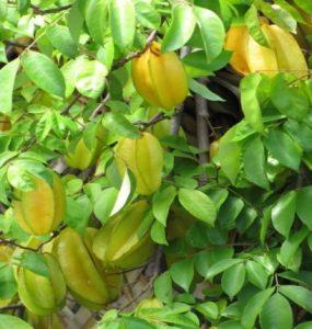 manfaat daun belimbing