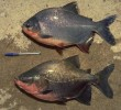 30 Manfaat Ikan Bawal Bagi Kesehatan