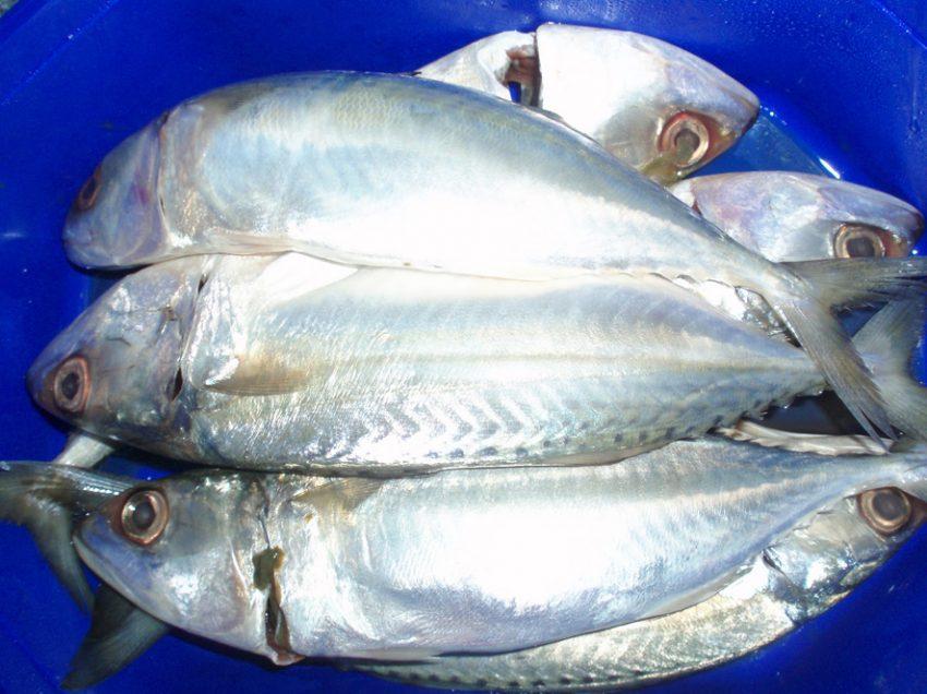 11 Manfaat Ikan Kembung Bagi Kesehatan dan Ibu Hamil