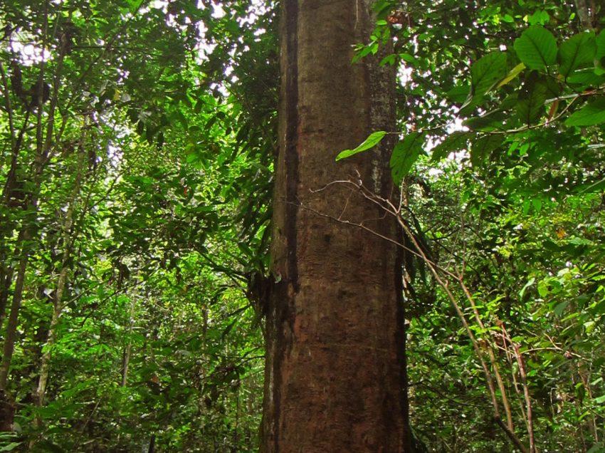 10 Manfaat Kayu Ulin Kalimantan dan Bagian Lainnya