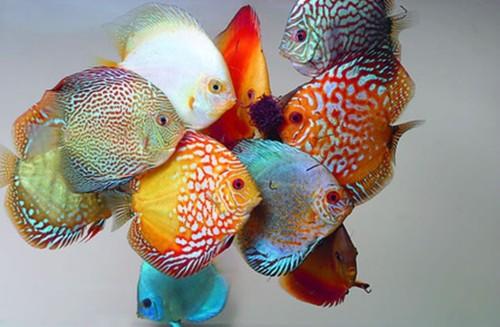 Manfaat Memelihara Ikan Discus di Rumah