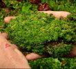 20 Manfaat Tumbuhan Lumut bagi Manusia dan Lingkungan