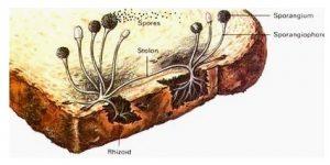 Manfaat Jamur Zygomycota