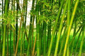 manfaat bambu