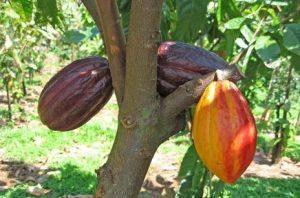 manfaat buah coklat