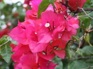 manfaat bunga bougenville
