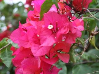 10 Manfaat Bunga Bougenville Bagi Kesehatan