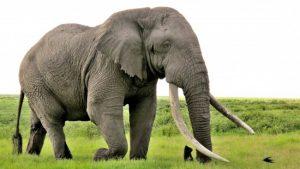 manfaat gading gajah