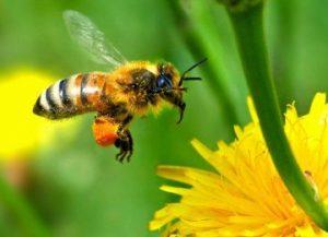 manfaat lebah