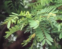 manfaat daun johar