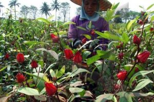 manfaat daun rosella