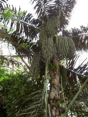 16 Manfaat Pohon Aren Bagi Manusia
