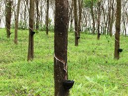 manfaat pohon karet