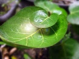 manfaat daun mengkokan