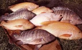 10 Manfaat Ikan Air Tawar Bagi Kesehatan