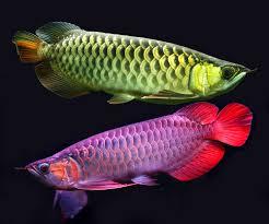manfaat ikan arwana