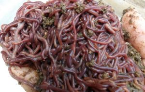 Cacing Lumbricus Rubellus
