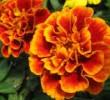 4 Manfaat Bunga Tagetes Erecta