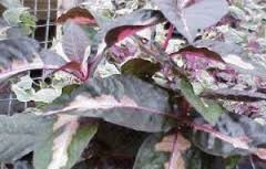 manfaat daun handeuleum