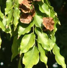 manfaat daun angsana