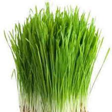 manfaat daun barley