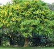 13 Manfaat Pohon Angsana Bagi Lingkungan dan Kesehatan