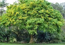 manfaat pohon angsana