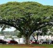 10 Manfaat Pohon Trembesi Bagi Lingkungan dan Kesehatan