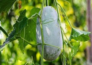 buah bligo