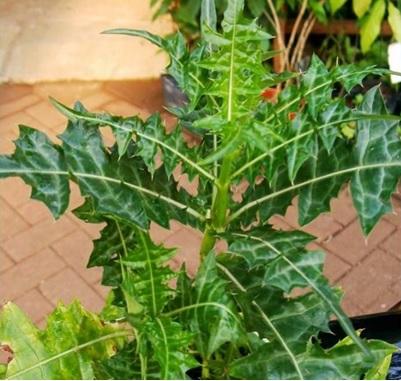 19 Manfaat Daun Daruju Herbal