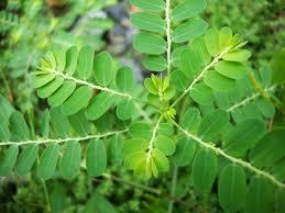 manfaat daun senna