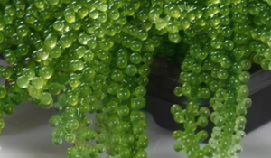 manfaat anggur laut
